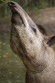 pic of tapir  - The Malaysian tapir sticks his nose in the air. ** Note: Shallow depth of field - JPG