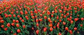 Tulips of Red