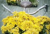 Beautiful Yellow Chrysanthemum Flowers Decorated In Front Of Bicycle Basket