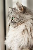 gray siberian cat looking out of the window