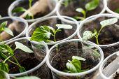 Green Seedling Growing