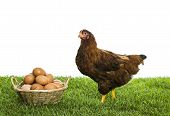 pic of laying eggs  - Brown hen with basket full of eggs - JPG