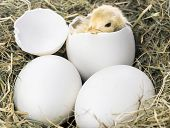 picture of baby chick  - Baby chick hatching in nest from white eggs - JPG