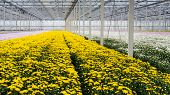stock photo of greenhouse  - Large greenhouse or a specialized Dutch cut flower nursery with lots of flowering yellow chrysanthemums in the foreground - JPG