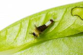 pic of caterpillar  - Close up of young  - JPG
