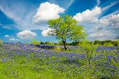 foto of bluebonnets  - Bluebonnets on display in rural Texas on a sunny spring afternoon - JPG
