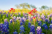 picture of bluebonnets  - Bluebonnets and Indian paintbrushes bathed in late afternoon light - JPG