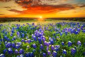 picture of pastures  - Texas pasture filled with bluebonnets at sunset - JPG