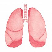 foto of bronchus  - Watercolor realistic human lungs on the white background - JPG