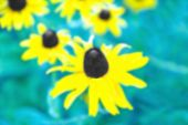 stock photo of black-eyed susans  - An Abstract Floral Background Image of a Black Eyed Susan - JPG