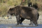 image of grizzly bear  - Grizzly bear walking with fish in mouth through water - JPG
