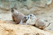 foto of prairie  - Two kissing black-tailed prairie dogs at a burrow entrance ** Note: Visible grain at 100%, best at smaller sizes - JPG