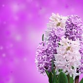 image of violets  - pink and violet hyacinth on violet background - JPG