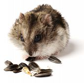 picture of greedy  - greedy little hamster on white background closeup - JPG
