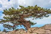 stock photo of mountain-high  - Relict pine tree in the Crimean mountains - JPG