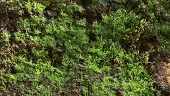 pic of lichenes  - Beech bark with moss and lichen  forest by Beckingen Saarland  - JPG
