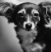 foto of toy dogs  - photo of the toy terrier dog in black and white