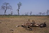 stock photo of corpses  - rotting cow corpse eaten by vultures, Lumbini, Nepal