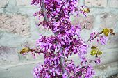 image of judas tree  - Bright purple flowers and small leaves on the trunk Judas Tree - JPG