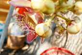 pic of cannon-ball  - cannon Ball Tree Sal Tree Sal of India Couroupita guianensis Aubl - JPG