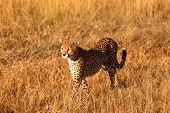image of cheetah  - Male cheetah walking in grass and looking for its pray in Masai Mara Kenya - JPG