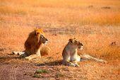 picture of mating animal  - Mating lions in Masai Mara Kenya during the dry season - JPG