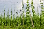 foto of brew  - Industrial plantations of hops for the needs of the brewing industry - JPG
