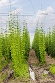 stock photo of brew  - Industrial plantations of hops for the needs of the brewing industry - JPG