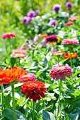foto of zinnias  - colorful flower border with zinnia in cottage garden - JPG