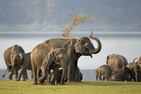 picture of bathing  - A group of elephants bathing and playing near the Ramganga river at Jim Corbett National Park - JPG
