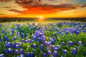stock photo of bluebonnets  - Texas pasture filled with bluebonnets at sunset - JPG