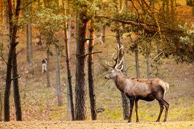 foto of male-domination  - Majestic powerful adult male red deer stag in autumn fall forest - JPG