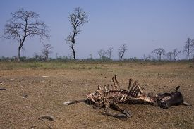 pic of corpses  - rotting cow corpse eaten by vultures, Lumbini, Nepal