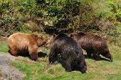 Three brown bears in conflict
