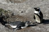 stock photo of jackass  - A mother feeding her baby Jackass Penguin - JPG