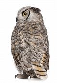 Rear View Of Great Horned Owl, Bubo Virginianus Subarcticus, In Front Of White Background