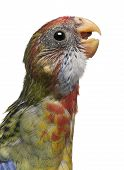 Eastern Rosella, Platycercus Eximius, 5 Weeks Old, In Front Of White Background