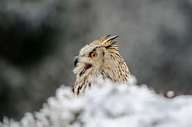 foto of snow owl  - Eurasian Eagle Owl sitting on the ground with snow in winter time and shout - JPG