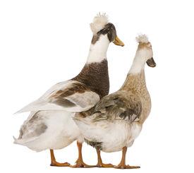 pic of canard  - Two Canard hupp - JPG