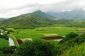 Hawaiin Taro Fields