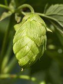 Hop - Taste Of Beer 3