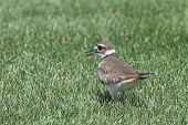stock photo of killdeer  - a killdeer bird in the grass walking away as he looks back to see who is following - JPG