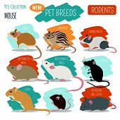 Rat Breeds Icon Set Flat Style Isolated On White. Pet Rodents Collection. Create Own Infographic Abo poster