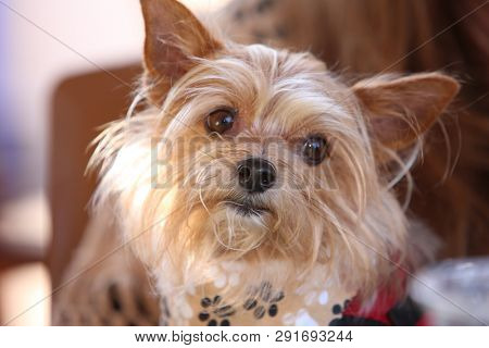 poster of dog. small brown dog. Close up of a small terrier dog.