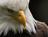 The Bald Eagle Is The National Bird Of The United States Of America. The Founders Of The United Stat poster