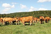 Herd Of Limousin Beef Cattle
