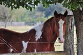 Pied Horse