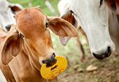 stock photo of zebu  - Zebu cows at a cattle farm or ranch - JPG