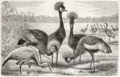 Black Crowned Crane (Balearica pavonina) and Demoiselle Crane (Anthropoides virgo) old illustration.