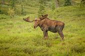 Moose With Antlers Staring At Viewer While Standing In A Meadow In Denali National Park, Alaska, Usa poster